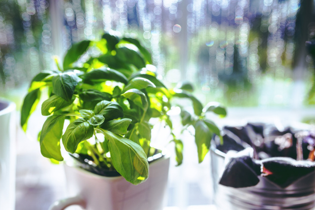 Basil Oil is used for its uplifting properties to combat depression. It is also used in the Spa/Salon for acne kin treatments. www.TwilightTherapy.com  www.PatrinaRutherford.com